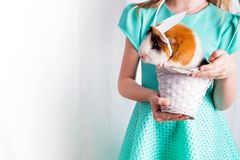 Very caring little guinea pig in white basket with his friend. Love for animals lifestyle , happiness concept . Easter stock image