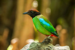 Very clear detail close up of Hooded Pitta Stock Images