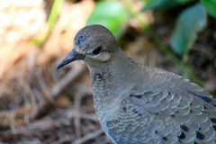 Very close head and upper body of mourning dove. Royalty Free Stock Photography