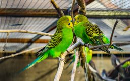 Very close lovely couple of budgie parakeets together, tropical and popular pets in aviculture, colorful birds from Australia. A very close lovely couple of royalty free stock images