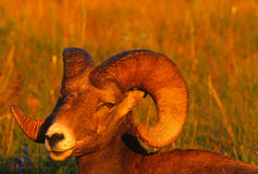 Very Close Portrait Bighorn Sheep Ram Royalty Free Stock Photo