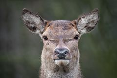 Very close portrait of a red deer. A very close image of a red deer staring forward at the camera. This is photograph of the head only and ears are pricked stock images