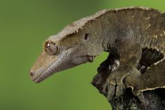 Crested gecko. Very close profile portrait of a crested gecko with water droplets on its eye Royalty Free Stock Image