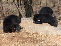 Very Close snap of bears. You can not imagine that bear a wondering very close to us & eating some food at national park Royalty Free Stock Photo