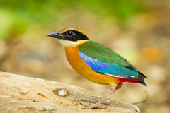 Very close up of Backside of Blue-winged Pitta. (Pitta moluccensis) on the wood turn her head royalty free stock photo