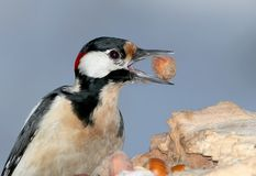 Very close up fragment of great spotted woodpecker with hazelnut in beak. Isolated on unusual grey-blue background Royalty Free Stock Photography