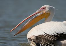 Very close up fragmente of portrait of white pelican Stock Photo