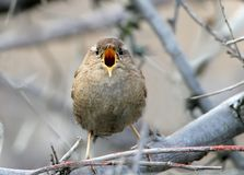 Very close up front view photo of eurasian wren royalty free stock image