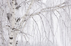 Very close up image of a white weeping willow tree. Stock Image