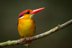 Very close up of Oriental Dwarf Kingfisher Royalty Free Stock Photography
