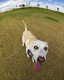 Very close up photo of a dog with a fish eye lens Royalty Free Stock Photos