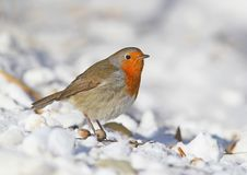 Very close up photo of European robin Erithacus rubecula sits on a snow. Detailed and bright portrait on white blurred background Stock Image