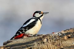 Very close up photo of great spotted woodpecker Royalty Free Stock Images