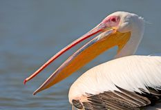 Very close up photo a head and neck of a white pelican Royalty Free Stock Photo