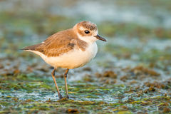 Very close up portrait Lesser Sand Plover Royalty Free Stock Photo