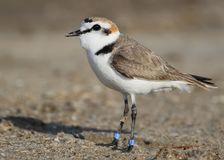Very close up portrait male kentish plover Stock Image