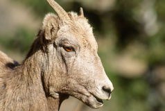 Very Close up Portrait Young Bighorn Sheep Ewe Stock Photo