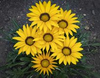Bunch of yellow daisies stock images