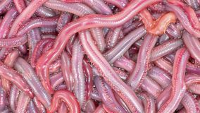Very close view of group of live bloodworms Royalty Free Stock Photo