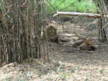A couple of lion sleeping at park. Very close view of lion at zoo. lion sleeping near bamboo tree.A couple of lion sleeping at park Royalty Free Stock Image