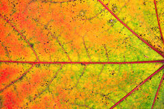 Very close view of a maple leaf Royalty Free Stock Photography