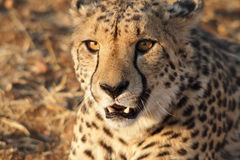 Very closeup of cheetah Royalty Free Stock Photos