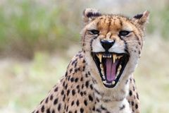 Angry cheetah Stock Photos