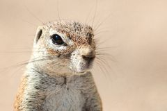 South African Ground Squirrel 1 Royalty Free Stock Photo