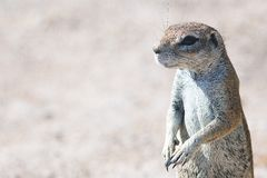 South African Ground Squirrel 2 Royalty Free Stock Photos