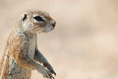 South African Ground Squirrel 3 Stock Photo