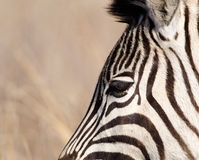 Very closeup to zebra Royalty Free Stock Photo
