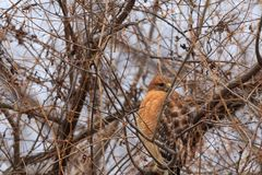 Red Shouldered Hawk. On a very cold day of 18 degrees, a Red Shouldered Hawk sits perched in a tree all puffed up trying to stay warm at Feyodi Creek Park Stock Photos