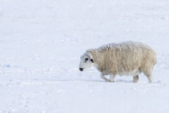 Very cold weather and sheep Stock Image