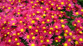 Very colorful, bright and gorgeous land with red f. These red and pink flowers can make anyone happy. They are very bright and colorful like an ocean of flowers Royalty Free Stock Photo
