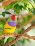 Very colorful Gouldian finch Royalty Free Stock Photography