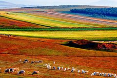 Grassland in autumn, Bashang, Hebei province. Harvest and colorful season in Bashang grassland Royalty Free Stock Image