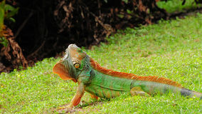 Very Colorful Iguana Royalty Free Stock Photography