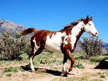 Very Colorful Paint Horse Prances. A colorful paint horse prances in the mountains amidst cactus and a blue sky, facing right Stock Photos