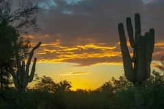 An Arizona sunset amongst the saguaros stock photos