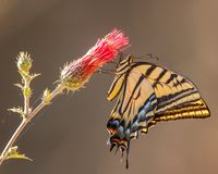 A very colorful 2-tailed swallowtail feeding on nectar from a flower royalty free stock photos