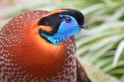 Colorful Temminck's Tragopan Bird in the WIld. Very colorful Temminck's Tragopan bird in the wild Royalty Free Stock Photos