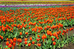 Very Colorful Tulips Royalty Free Stock Images