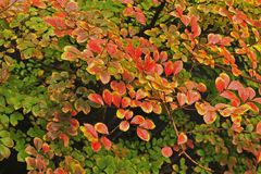 Very Colourful Hedge of Crepe Myrtle leaves, Ranging from Green to Dark Red. Frame filled with Fall Colored Leaves, of Red, Brown, Green, and Yellow. Very stock images
