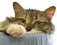 Very comfortable cat. Cat portrait of a calico tabby mix royalty free stock image