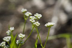 Beaked Cornsalad Wildflowers - Valerianella radiata. This is a very common wildflower called Beaked Cornsalad, or Stadium Lights, Valerianella radiata. This is a royalty free stock photography