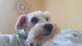 A beauty dog Royalty Free Stock Photography
