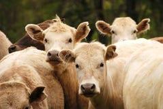 Brangus Steers Stock Photography