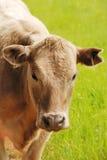 Brangus Steers Royalty Free Stock Photo
