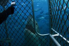 A very curious Great White Shark taking a look at a cage diver royalty free stock images