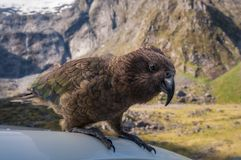 Very curious Kia -New Zealand`s native parrot at Mount Talbot. Kia, the inquisitive and opportunistic New Zealand native parrot on top of a car at Mount Talbot Stock Photos
